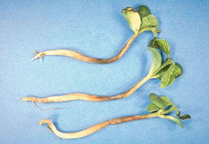 Seedling-diseases-of-soybeans_1