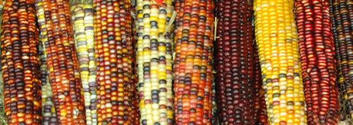 Commercial-corn-where-did-it-start_2