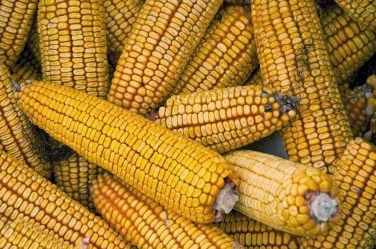 Commercial-corn-where-did-it-start_4