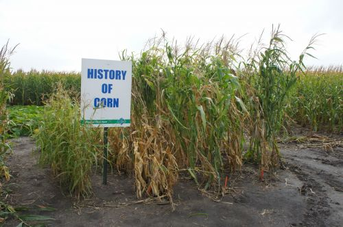 Commercial-corn-where-did-it-start_5