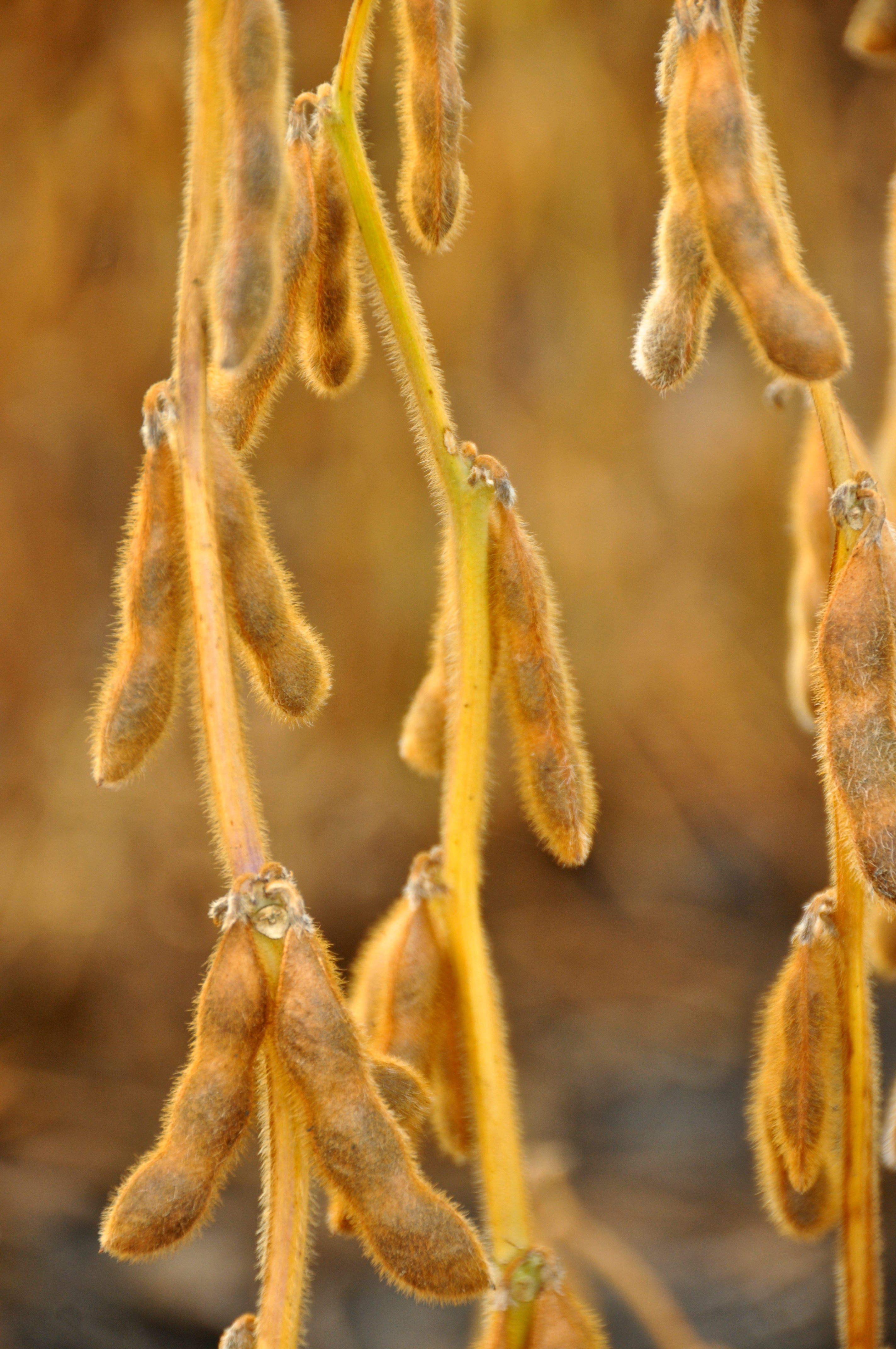 Example of Soybeans in the Plant Maturity Stage