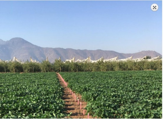 Soybean breeding in Brazil with the Andes Mountains in the background