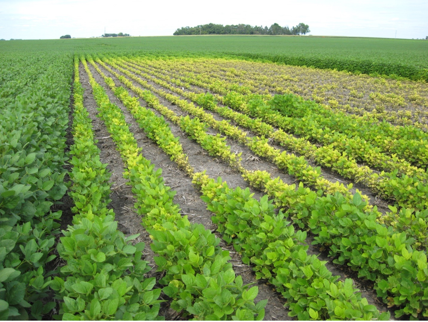 Field with iron chelate treated soybeans on border. Non-treated soybeans in center.
